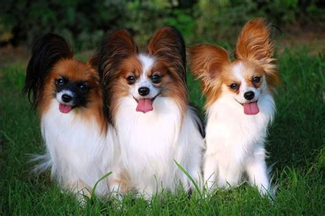 papillon dogs puppies club puppies breeds puppies for sale