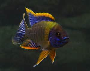 Buy A Live Peacock Buy live Red Top Lwanda Peacock Cichlids from a