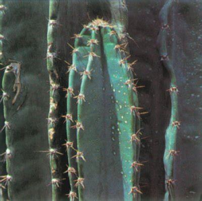 peruvian apple cactus  portrait   house plant