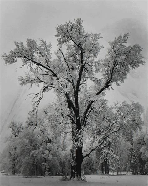 national tree snowy impearial ansel oak tree snowstorm yosemite national park 1948 available for sale artsy