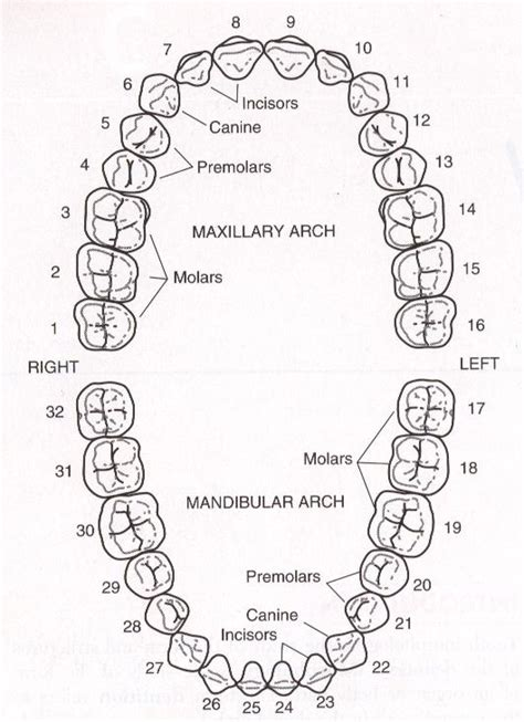 Names And Numbers Lookup Teeth Name And Number In Month Search Teeth Teeth
