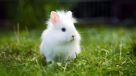 coniglio nano testa di coniglio testa di carattere e info sul coniglio nano