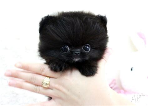black micro teacup pomeranian pomeranian black teacup pom puppies for sale in melbourne classified