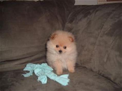 pomeranian for sale utah pomeranian puppies in utah