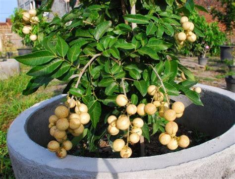 Harga Bibit Tanaman Kelengkeng jenis tanaman buah yang bisa ditanam dalam pot