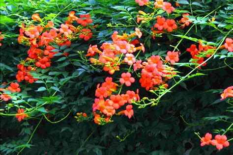 perennial climbing plants with flowers usa flos csis climbing flowers seeds creepers flower