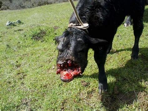 attack dogs sheriff vicious attacks on livestock are result of illegal marijuana cultivation