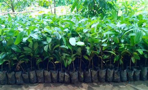Jual Bibit Coklat bibit tanaman murah