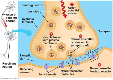 chemical synapse diagram nervous system bergenology a tool for anatomy and
