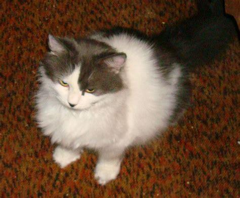 petsmart adoption cat adoptions at petsmart in manchester hartford cats examiner