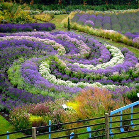 Lavender Garden Ideas This Backyard The Lavender Garden Was The Work Of A Husband In The