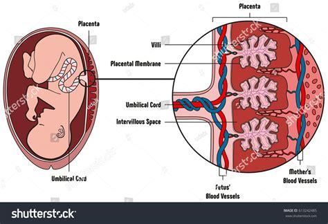 diagram of a placenta human fetus placenta anatomy diagram all stock vector