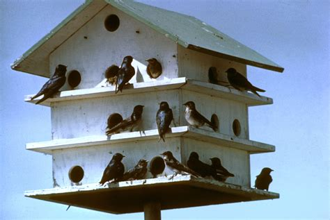 martin houses purple martins