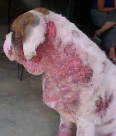 how to treat mange in dogs demodex mange treatment family community and doggies