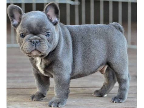 superb blue french bulldog puppy animals houston texas announcement