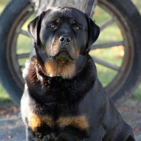 purebred rottweiler puppies for sale in nj rottweiler puppies akc breeds picture