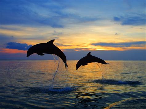 bottlenose dolphins wallpapers images  pictures backgrounds