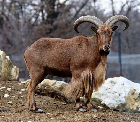 de cabras 191 c 243 mo se llama el de la cabra respuestas tips
