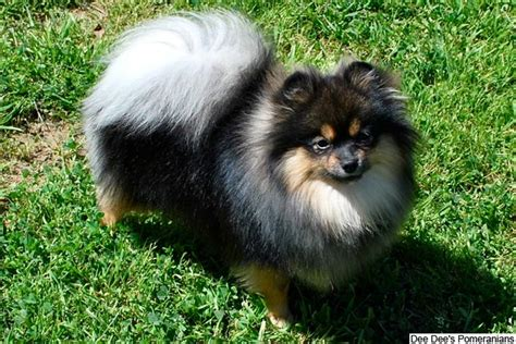 small pomeranian for sale pomeranian puppies for sale from reputable breeders