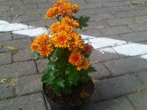 Bibit Tanaman Epidendrum Orange jual tanaman krisan orange bibit
