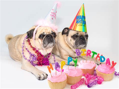 birthday pugs happy birthday pugsville lord byron and