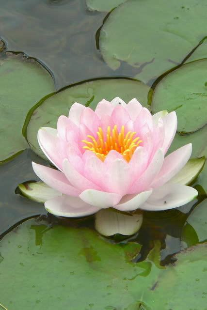 lily pond l shades 10 light pink lotus water lily pad nymphaea sp pond flower