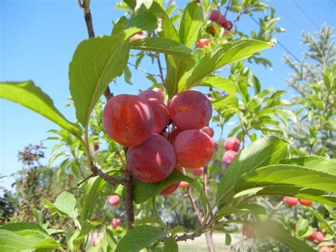 fruit trees for zone 4 17 best images about fruit trees on trees