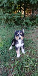 husky mix adopt local dogs puppies  ontario kijiji classifieds