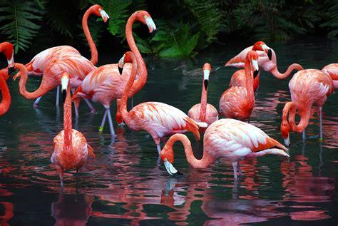 flamingo computer wallpaper flamingo computer wallpapers desktop backgrounds
