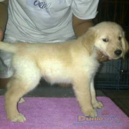 corgi golden retriever for sale dunia anjing jual anjing golden retriever golden retriever puppies for sale