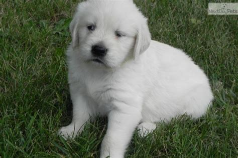 golden retriever puppies for sale tx white golden retriever puppies for sale breeds picture