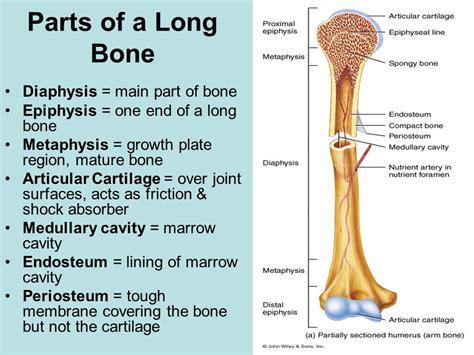 section of bone skeletal system ppt video online download