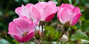 Pink Flowers Photography - flowers pretty in pink 18 joen wolfrom photography