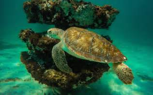 Sea turtle ing under water crystal clean background wallpapers13
