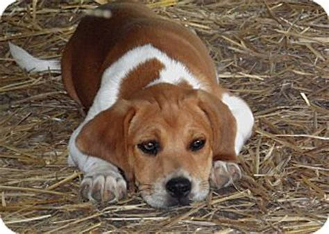 beagle mix puppies for sale near me terrier mix puppy for adoption in allentown pennsylvania samson bed mattress sale