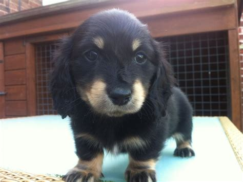 puppies dogs sausages mini dachshund puppies chesterfield derbyshire pets4homes