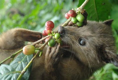 The Coffee Bean Indonesia civet cat dung secret to indonesia luxury coffee