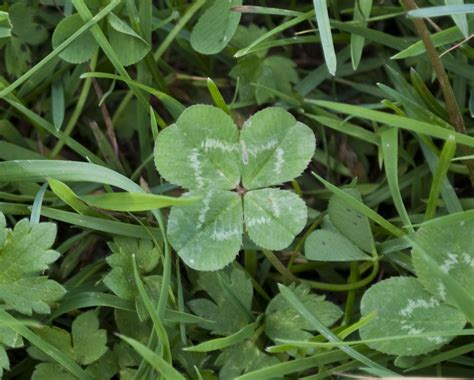 three leaf clover plant penn state extension philadelphia master gardeners phony shamrocks and four leaf clovers