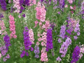 larkspur flowers types pinterest
