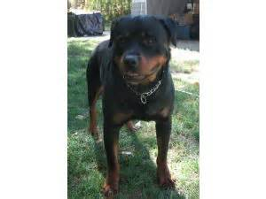 rottweiler puppies for sale evansville indiana rottweiler puppies for sale