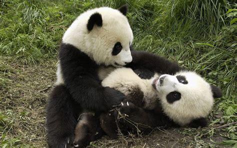 baby panda eating viewing gallery