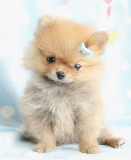 white fluffy teacup pomeranian puppies cutest pomeranian puppy fluffy pomeranian puppies teacups puppies by teacups
