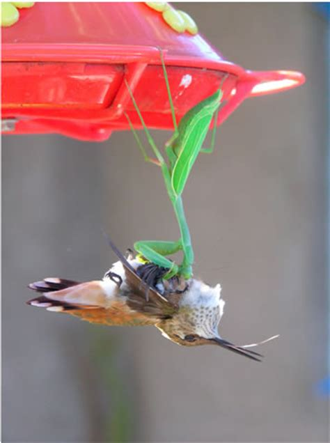 praying mantis catches a hummingbird neatorama