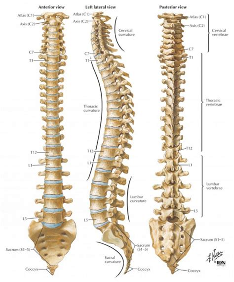 diagram of human spine human spinal cord diagram diagram of the human spinal cord
