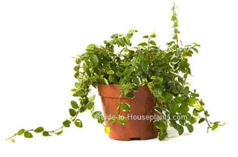 climbing vines indoors tips for growing common indoor creeping fig climbing fig ficus pumila houseplant care tips