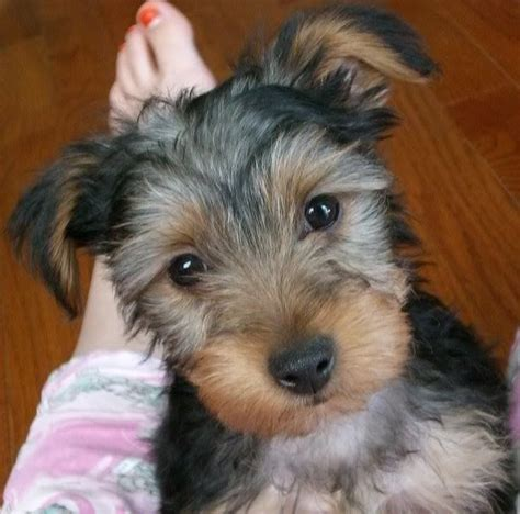 yorkie x schnauzer yorkie schnauzer mix im in animals that i each day