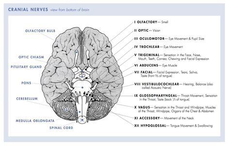 brain tumor diagram 12 cranial nerves chart 12 pairs of cranial nerves