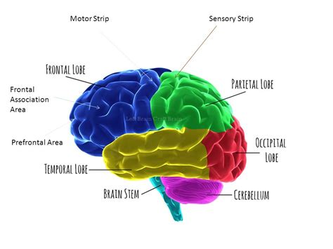 motor association area parts of the brain part two ppt