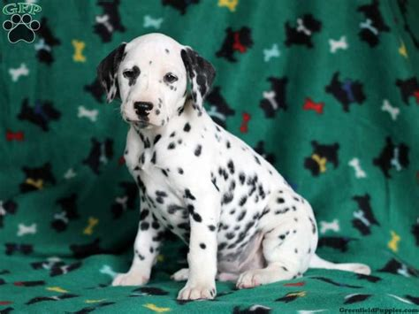 dalmatian puppies for sale in pa 17 best ideas about dalmatian puppies for sale on dalmatians for sale