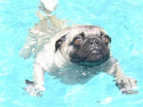 do pugs swim 83 best images about swimming pugs on swimming pug and animals and pets